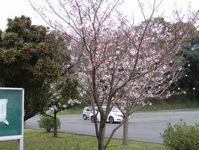 桜の開花とスイミーが待ってるよ!